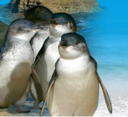 Phillip Island Penguin Parade - QLD Tourism
