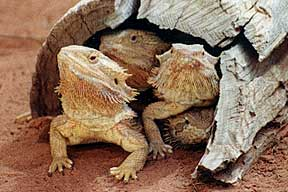 Alice Springs Reptile Centre - QLD Tourism