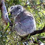 Koala Conservation Centre - QLD Tourism