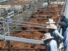 Dalrymple Sales Yards - Cattle Sales - QLD Tourism
