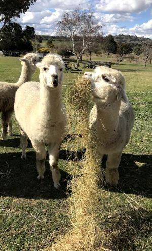 Clearview Alpacas - QLD Tourism
