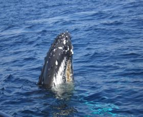 Jervis Bay Whales - QLD Tourism
