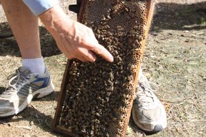 Bees on Keswick Island - QLD Tourism