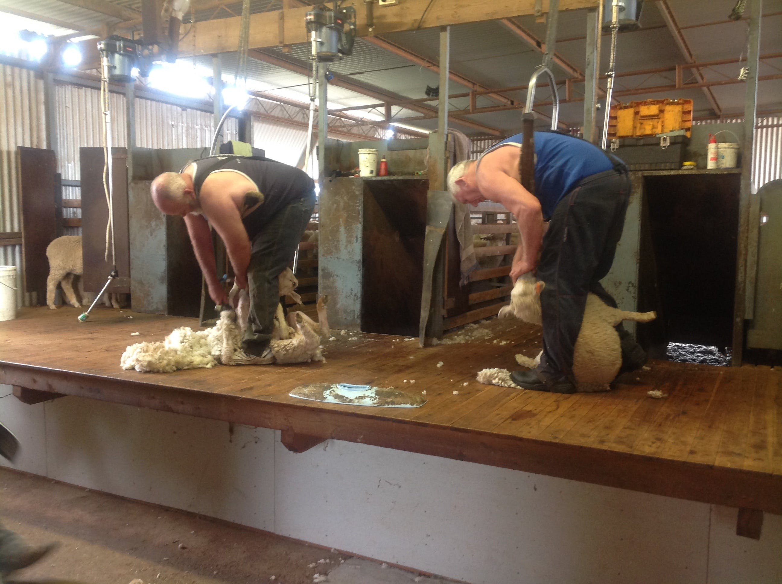 Sheep Shearing Farm Tour - QLD Tourism