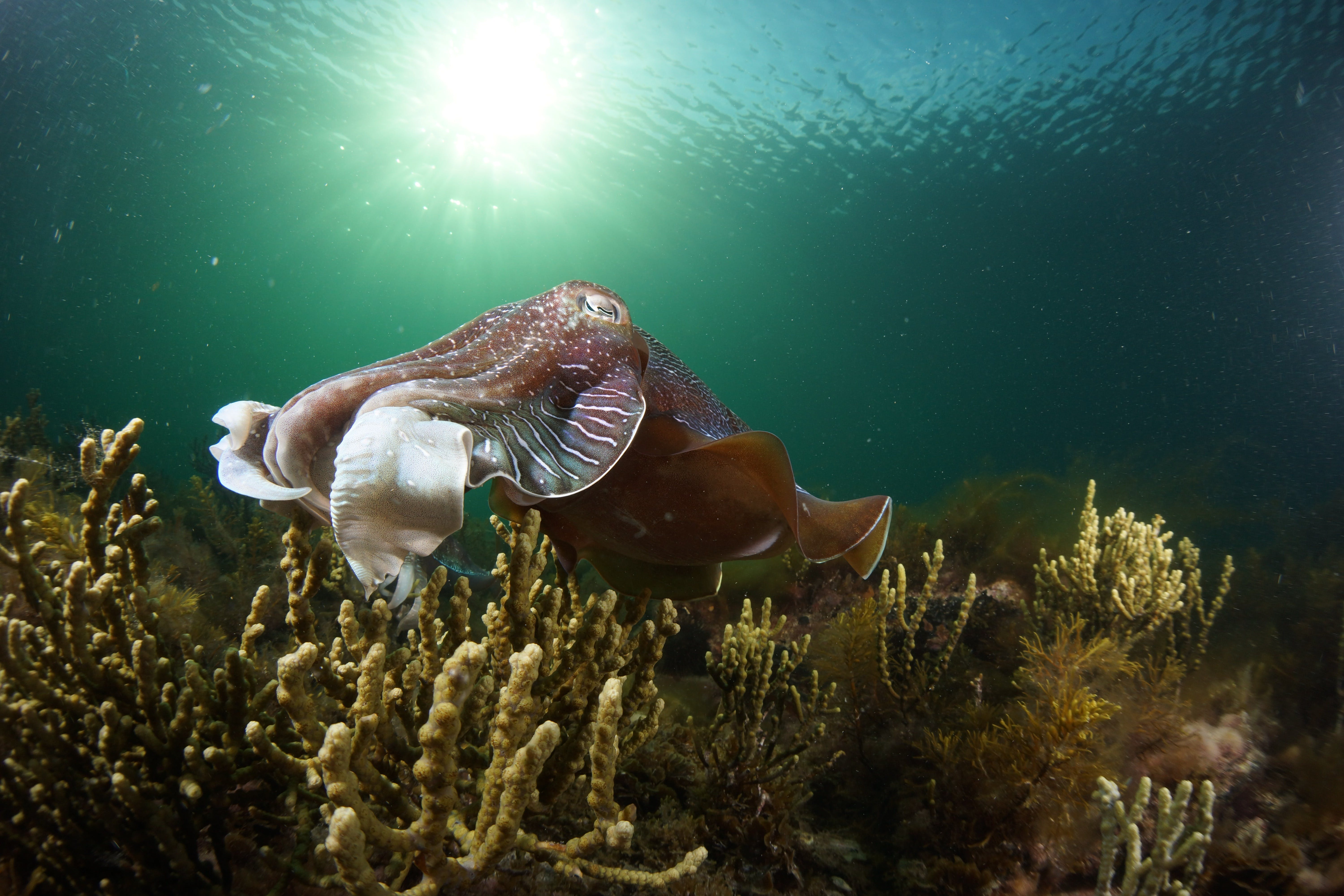 Cuttlefish Diving  Snorkeling EVERYDAY May -August - QLD Tourism